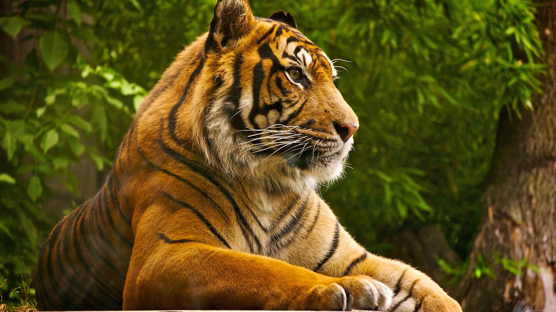 tiger wild animal desktop wallpaper Wallpaper HD Desktop Background 1920x1080