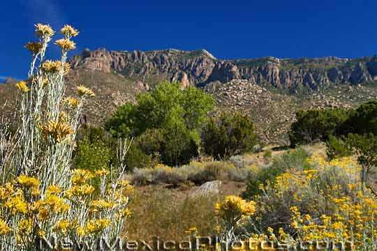 Chamisa blooms a golden yellow against a backdrop of the Sandia 540x360