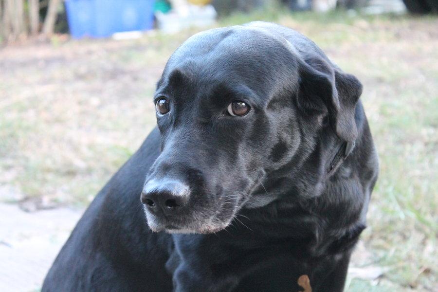 Black Labrador Retriever 9 Hd Wallpaper   DogBreedsWallpaperscom 900x600
