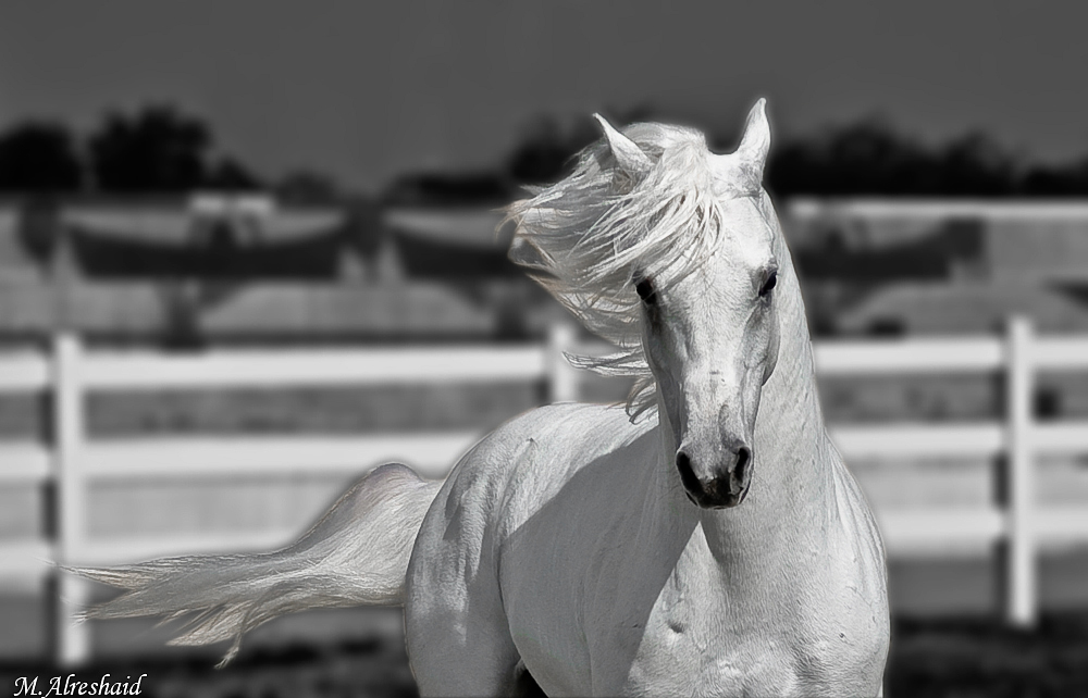 Beautiful Wallpapers White Horse Wallpapers 1000x642
