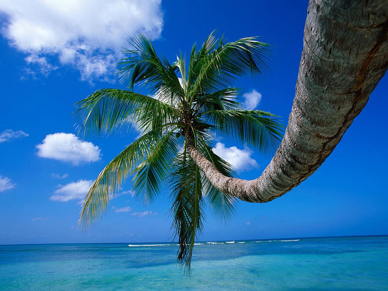 XP wallpaper Palm Tree 1600x1200