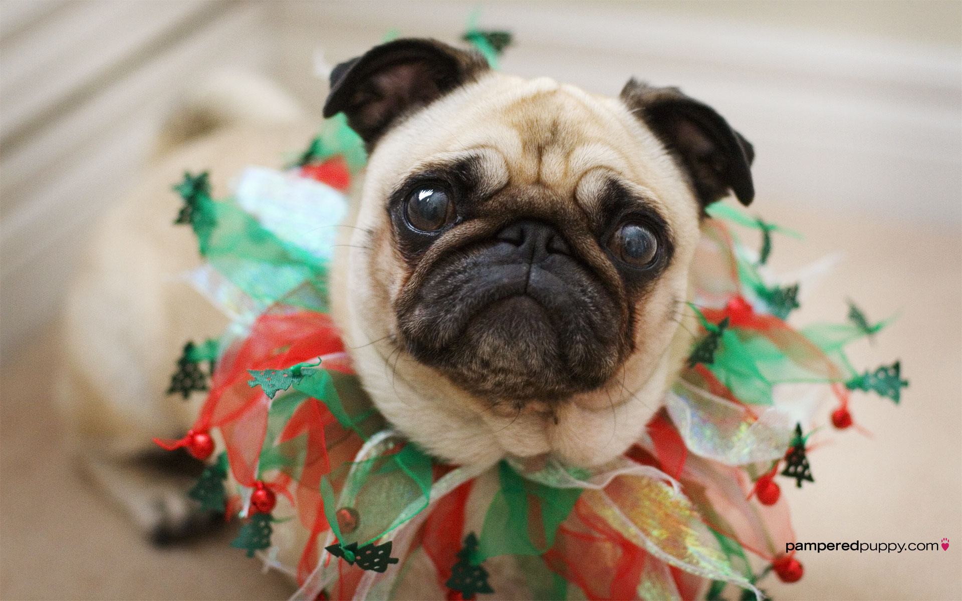 Fawn pug with Christmas collar Doggy Desktops 1920x1200