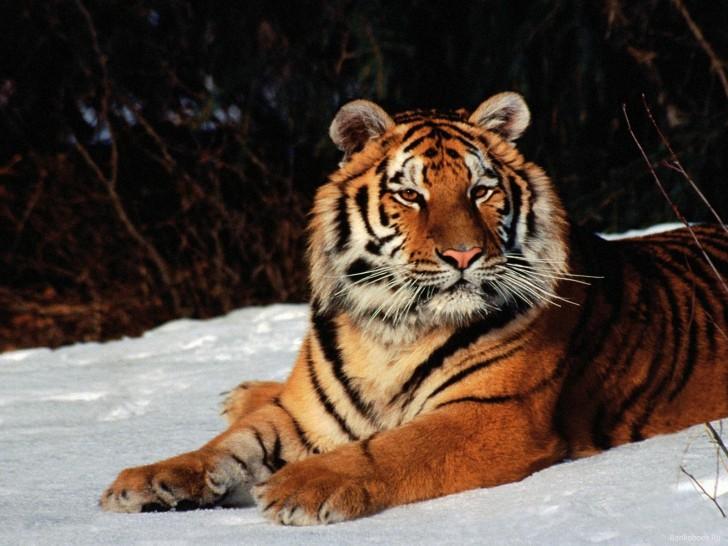 Siberian Tiger IPad Mac HD Wallpapers Wallpaper Tiger 1118 high 728x546