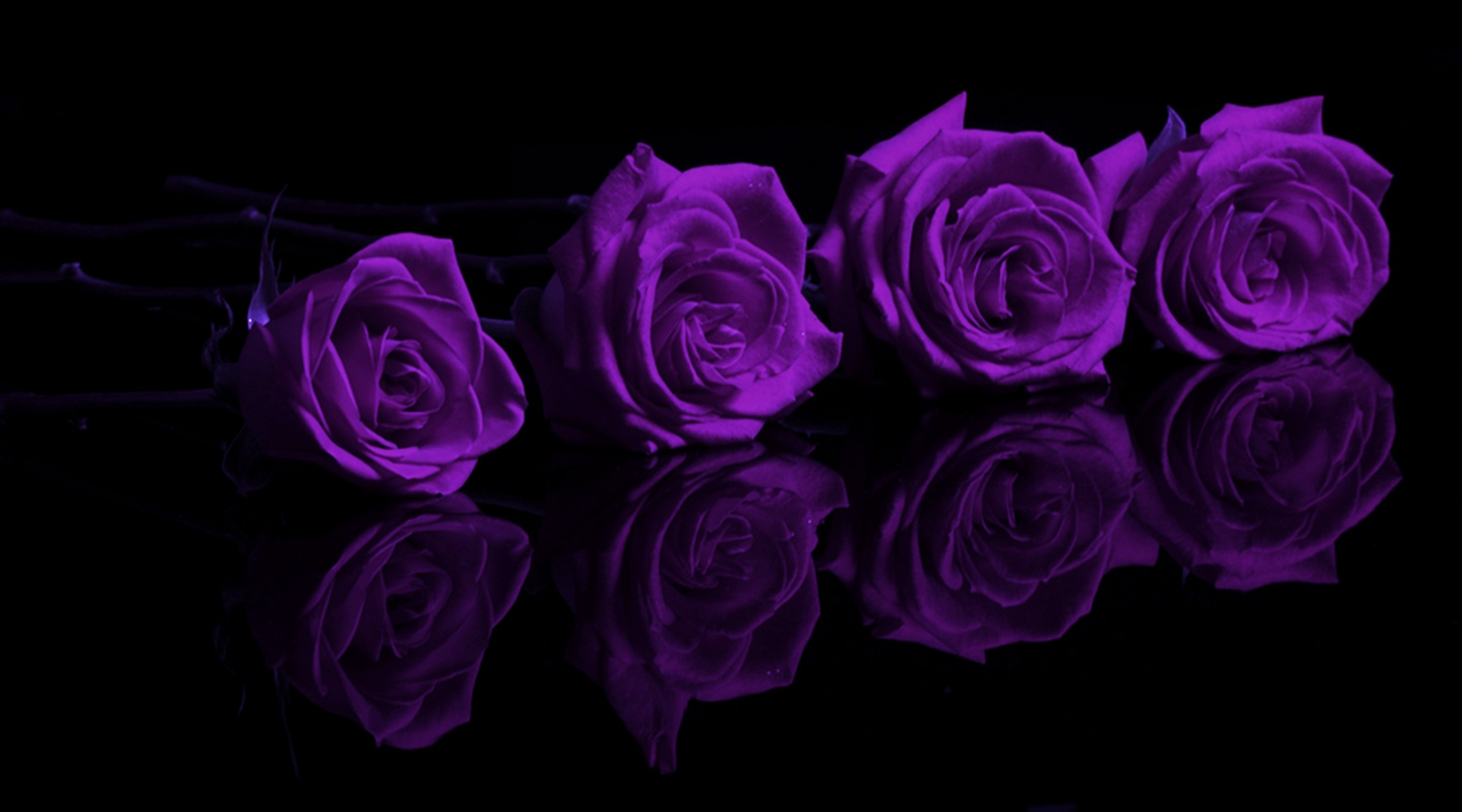 Dark Purple Roses Wallpaper - WallpaperSafari