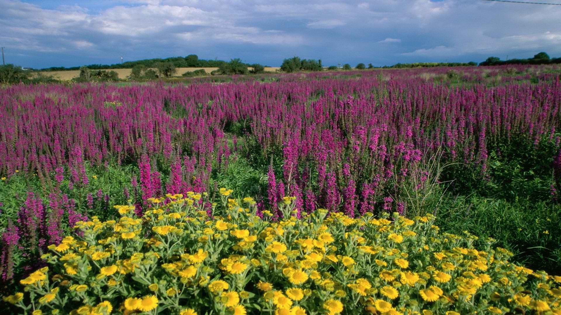 Lavender field wallpaper 2455 1920x1080