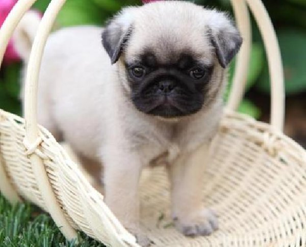 Pug Puppies For Sale 9 Background Wallpaper   DogBreedsWallpaperscom 600x485