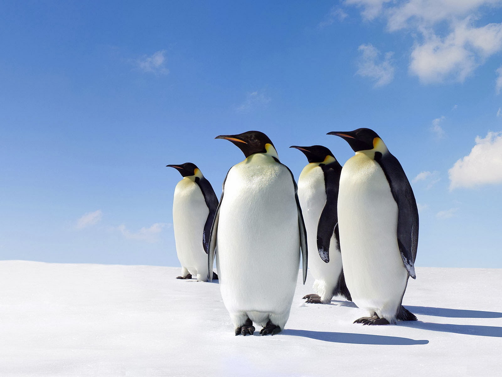 Clovisso Wallpaper Gallery King Penguins Wallpapers 1600x1200