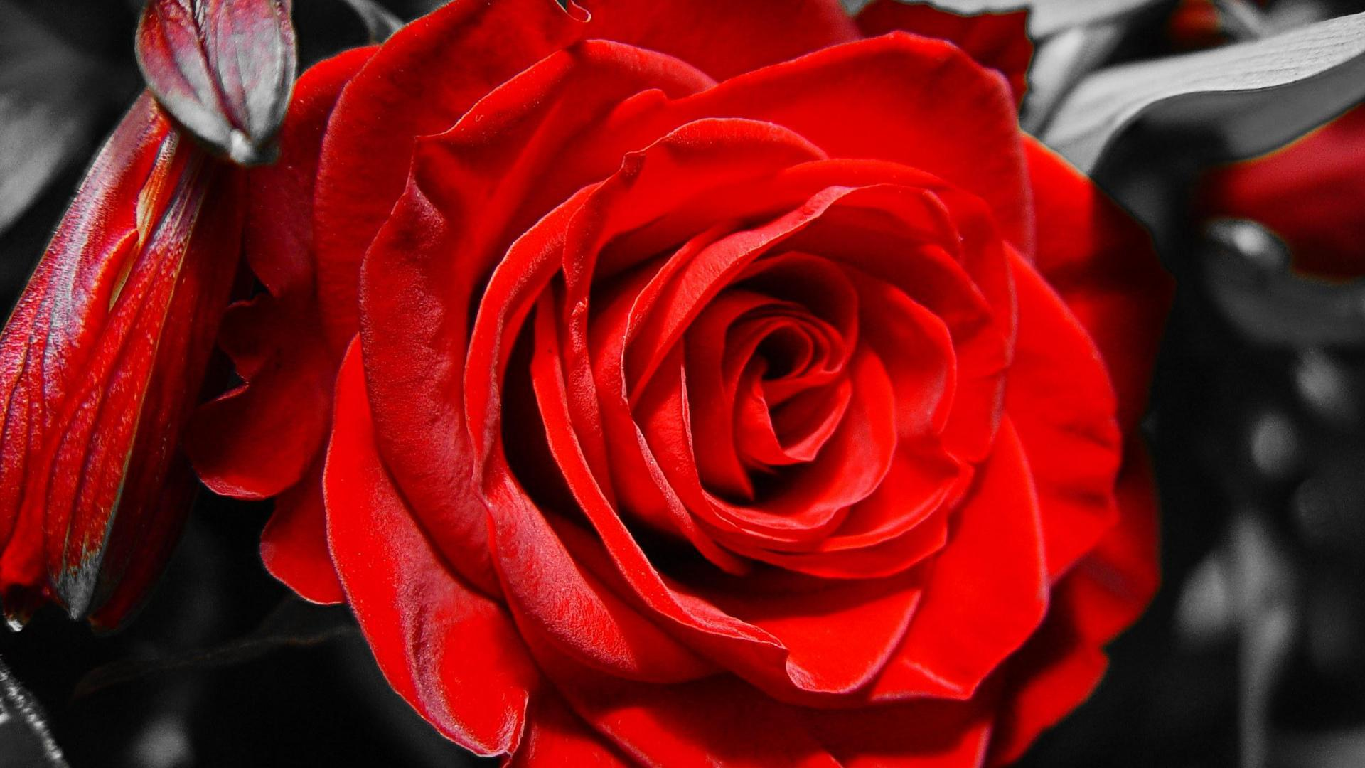 Red rose on black and white background on March 8 wallpapers and 1920x1080