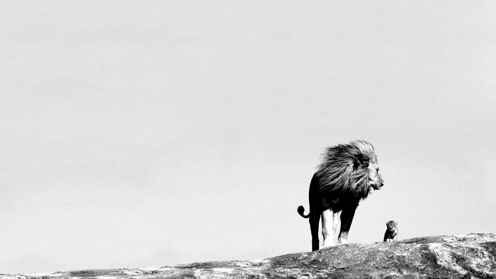 Jungle king lion wallpapers black and white photography 1600x900