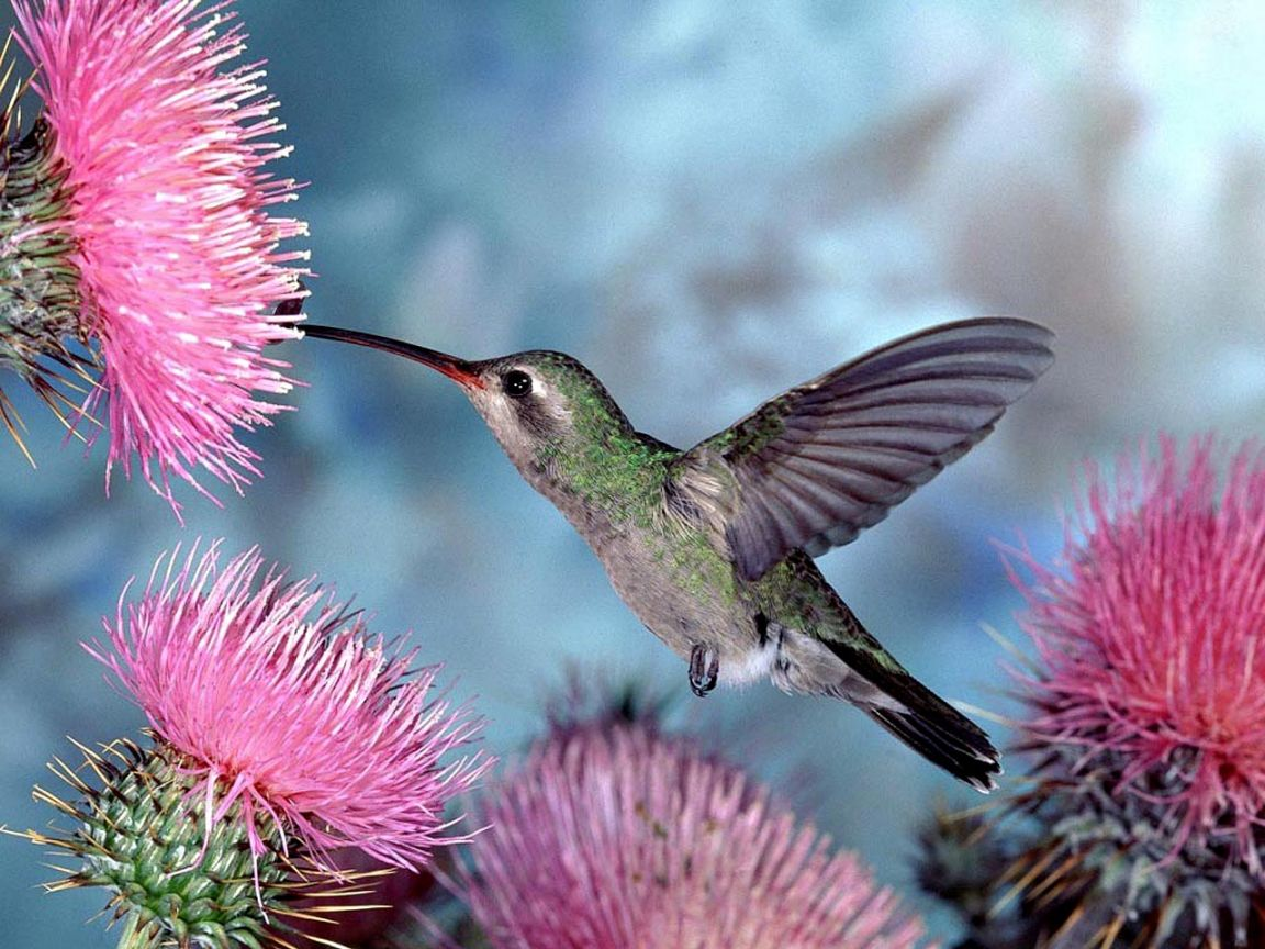 Humming Bird Pink Flower Wallpaper 1152864   Birds Wallpapers 1152x864