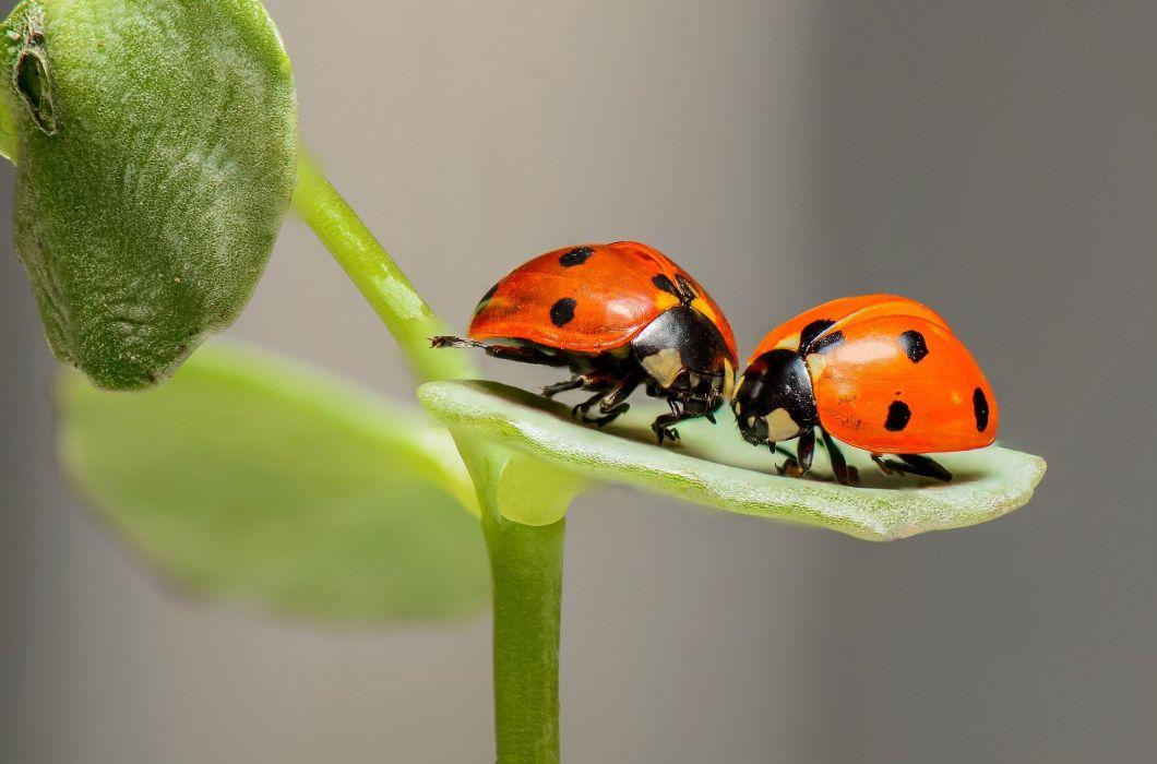 Ladybug Ladybird Bugs Insect wallpaper 1920x1268 1060579 1060x700