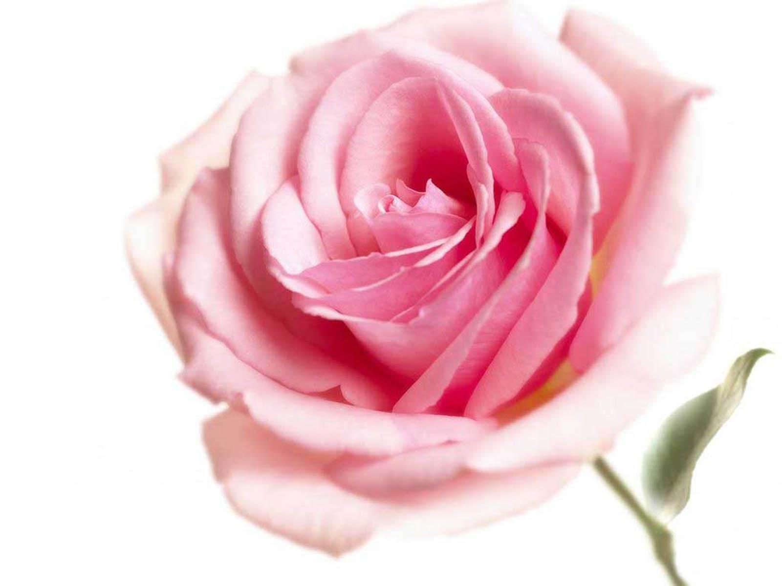 pink rose wallpapers pink rose desktop wallpapers pink rose desktop 1600x1200