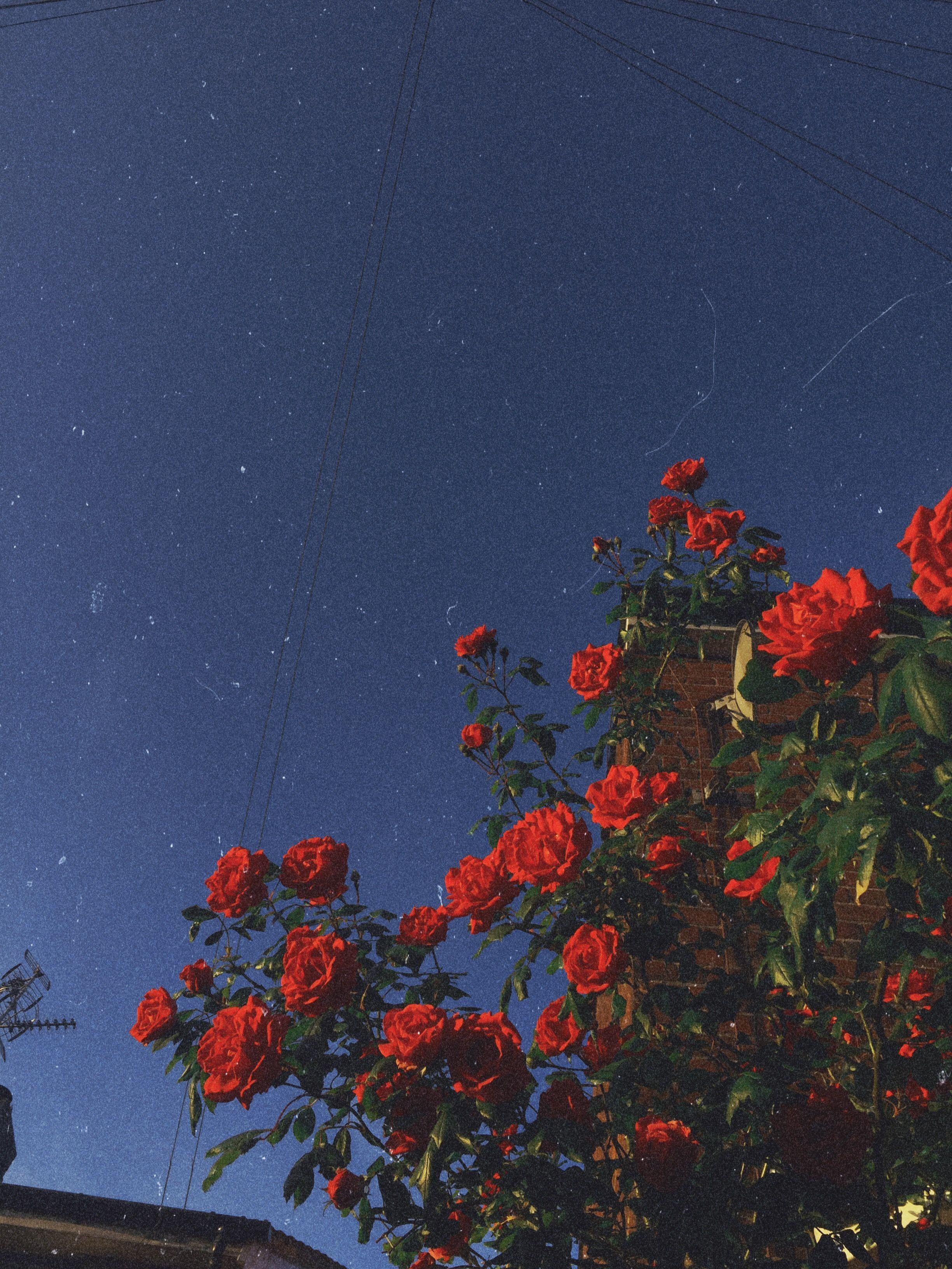 red roses flowers redaesthetic aesthetic redroses vintage 2448x3264