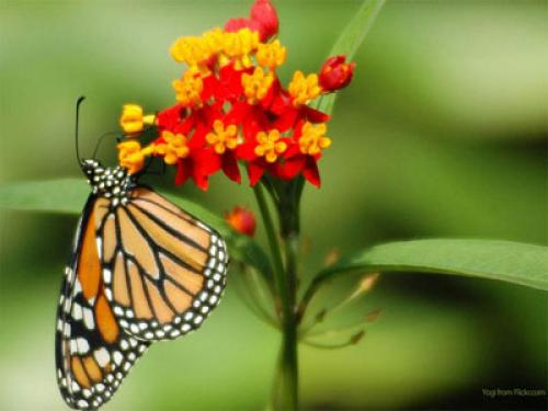 Free Wallpapers and Screensavers Butterflies - WallpaperSafari Wallpapers Of Butterflies