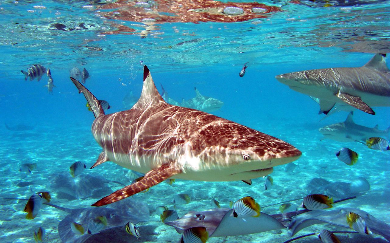 Shark Wallpaper HD Shark Pictures   HD Animal Wallpapers 1440x900