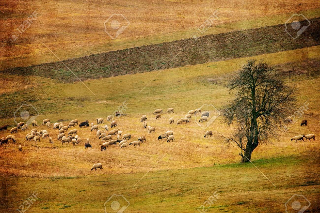 Pastoral Antique Farmland Background With Sheep Floak In Autumn 1300x866