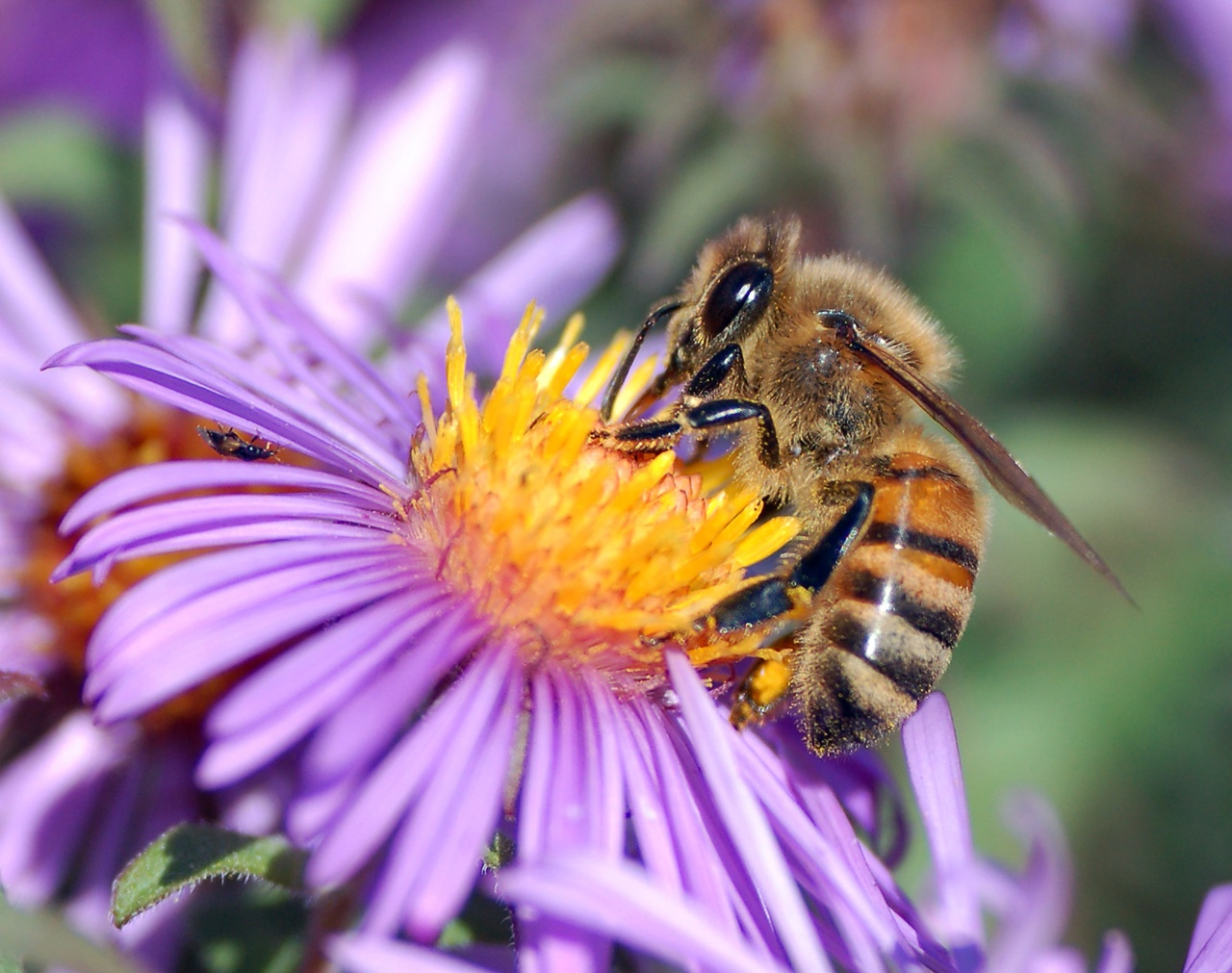Honey Bee   Animals Wallpapers 1280x1011