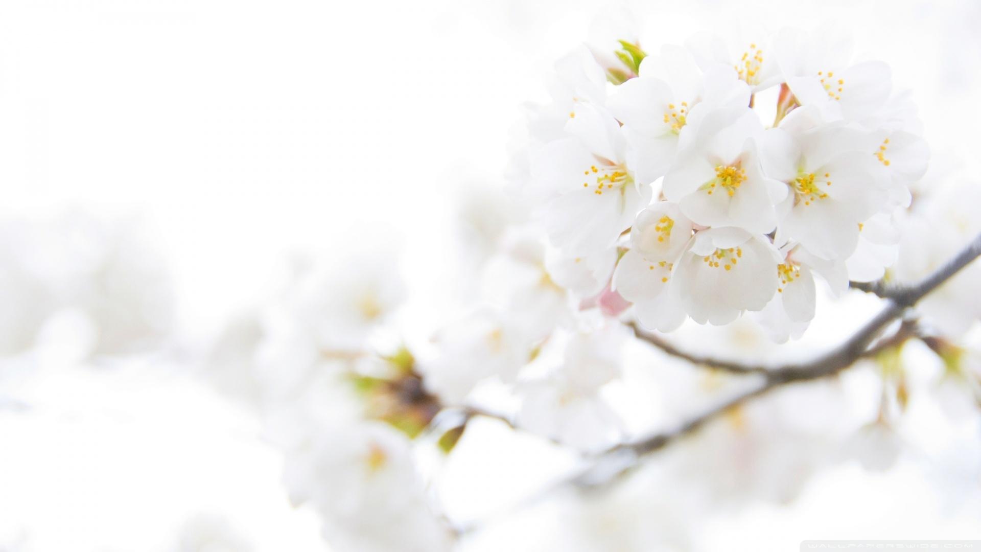 white flower image  wallpaper hd, Beautiful flower