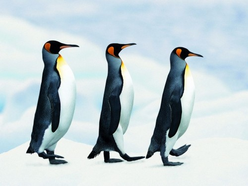 Penguin Screensaver Screensavers   Download Penguin Screensaver 500x375