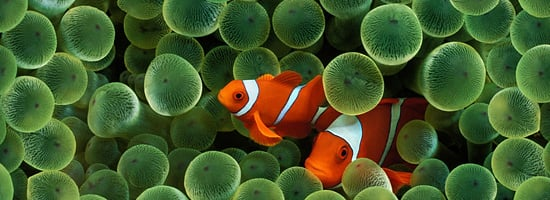 Wallpaper der Woche Clown Fish STE7130 Apple download 550x200