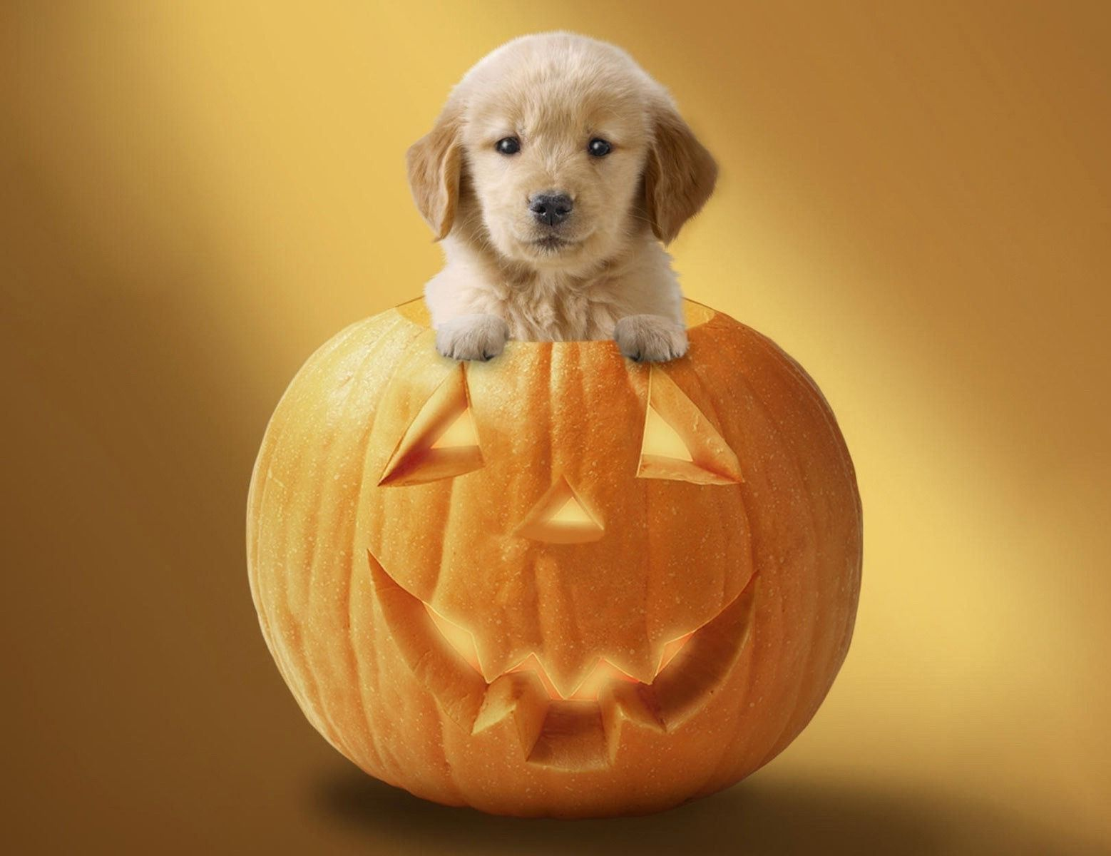55 Halloween Puppy Wallpapers   Download at WallpaperBro 1558x1200