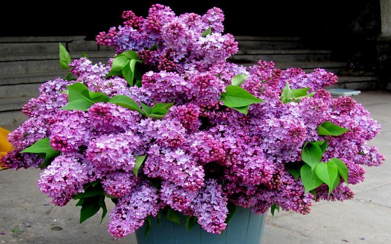 HD Lilac Wallpaper Download   49873 800x500