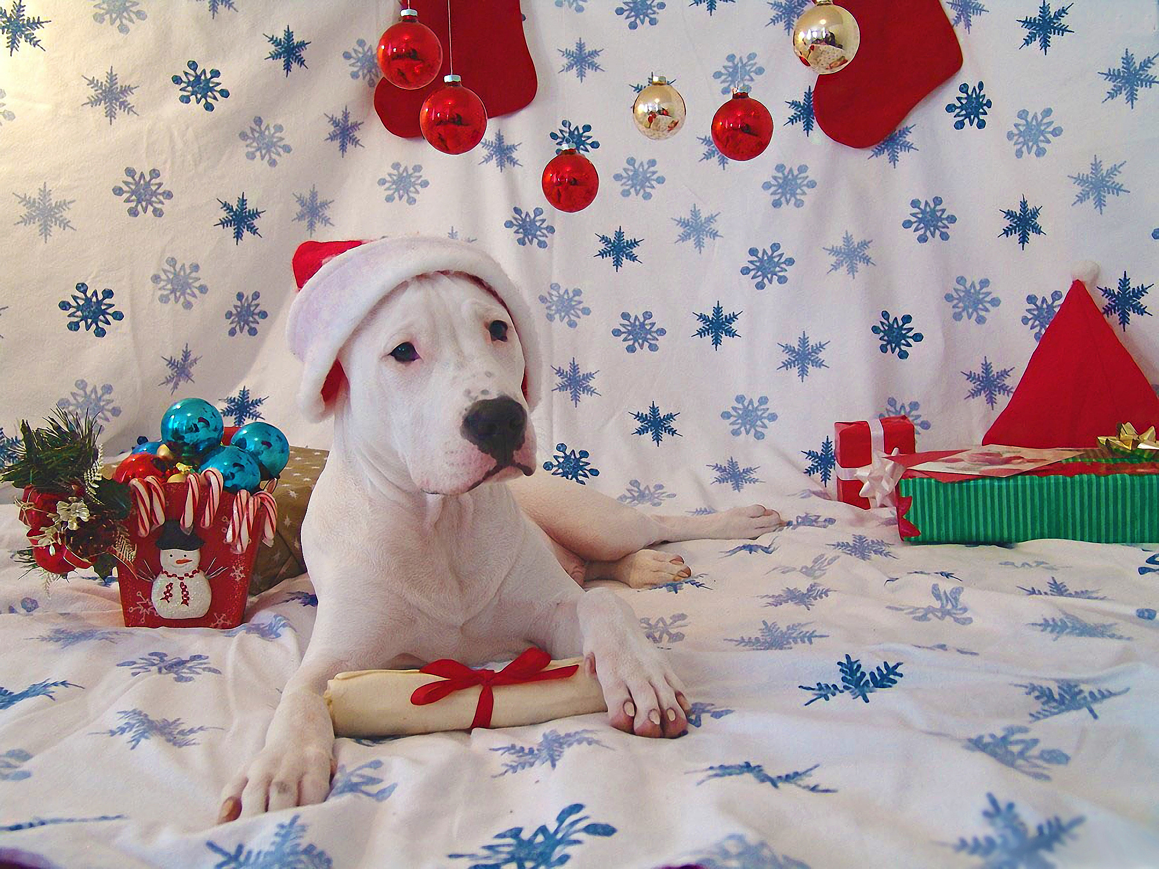 Cute charming funny festive images of the Dogo Argentino 2280x1710
