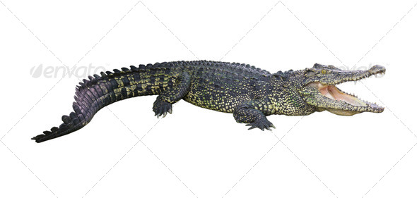 crocodile isolated on white background   Stock Photo PhotoDune 590x281