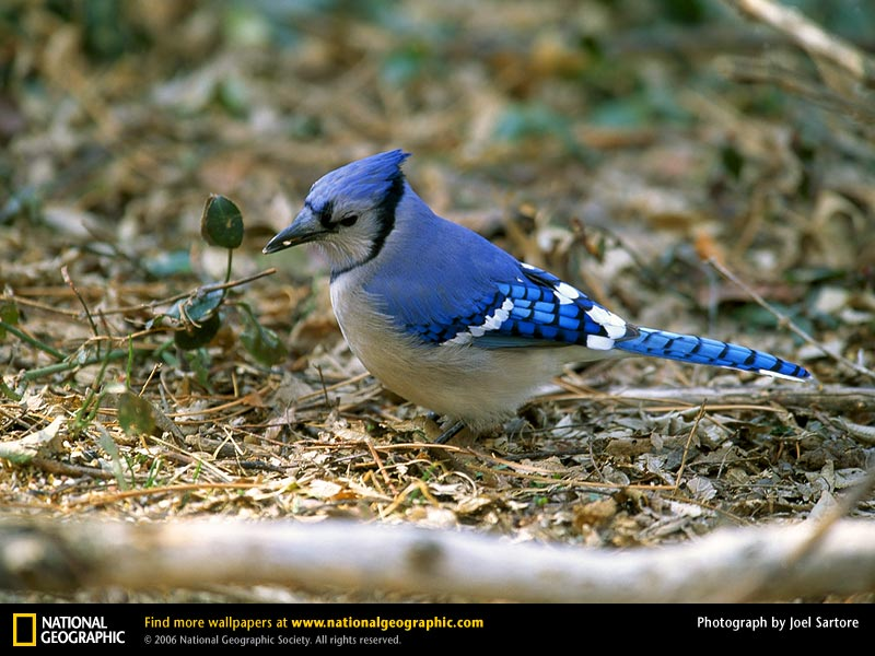 Blue Jay Picture Blue Jay Desktop Wallpaper Wallpapers 800x600