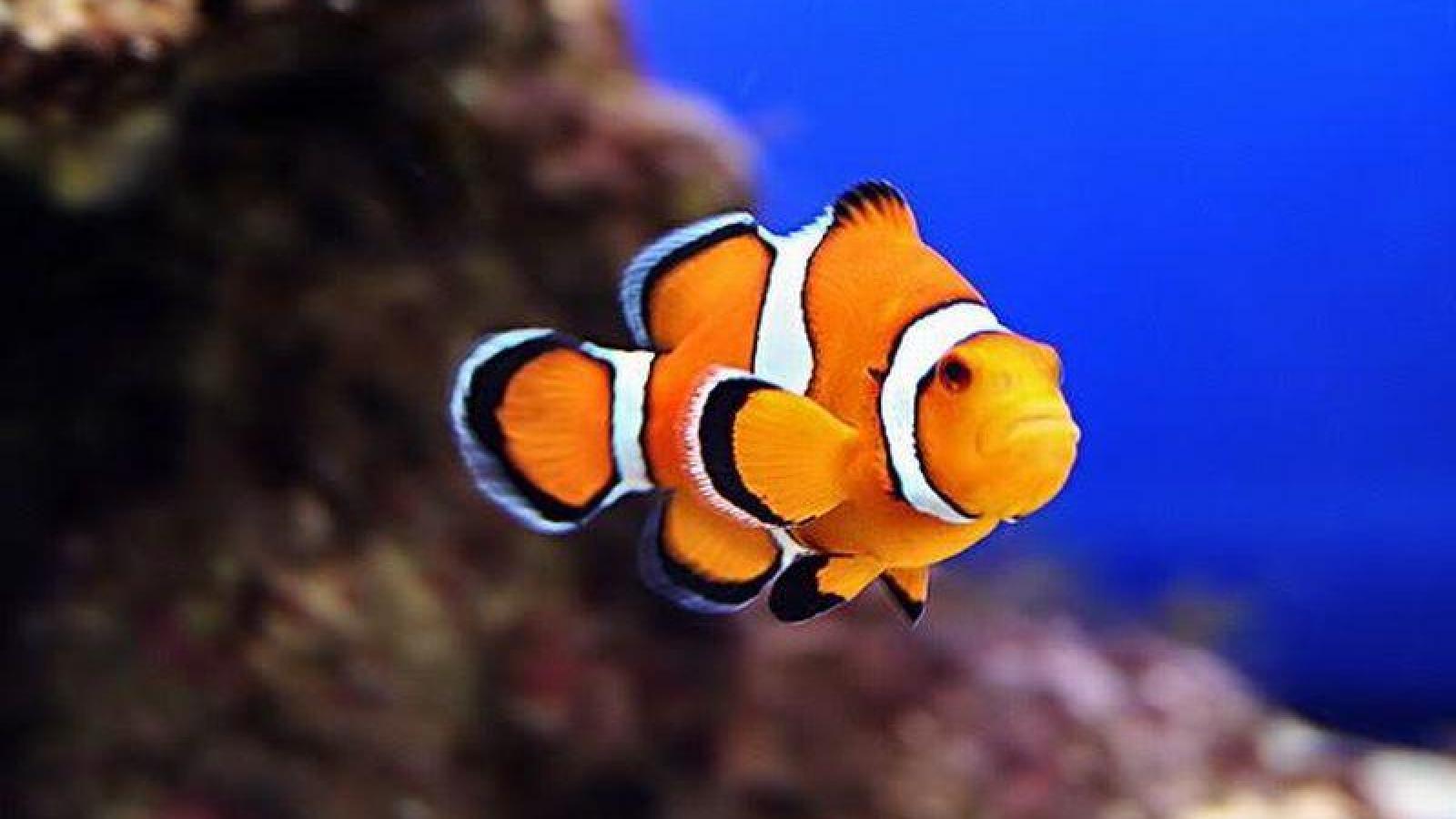 Clownfish wallpaper wallpapersafari for Pictures of clown fish