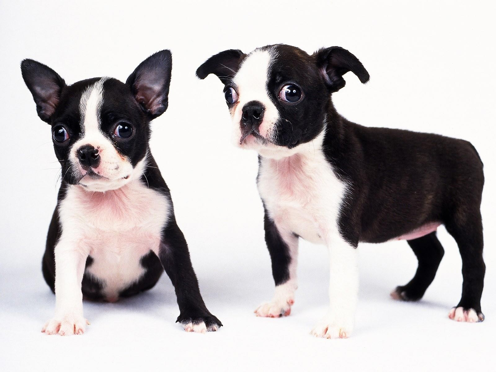 Black and white dogs puppies wallpaper background wallpaper with