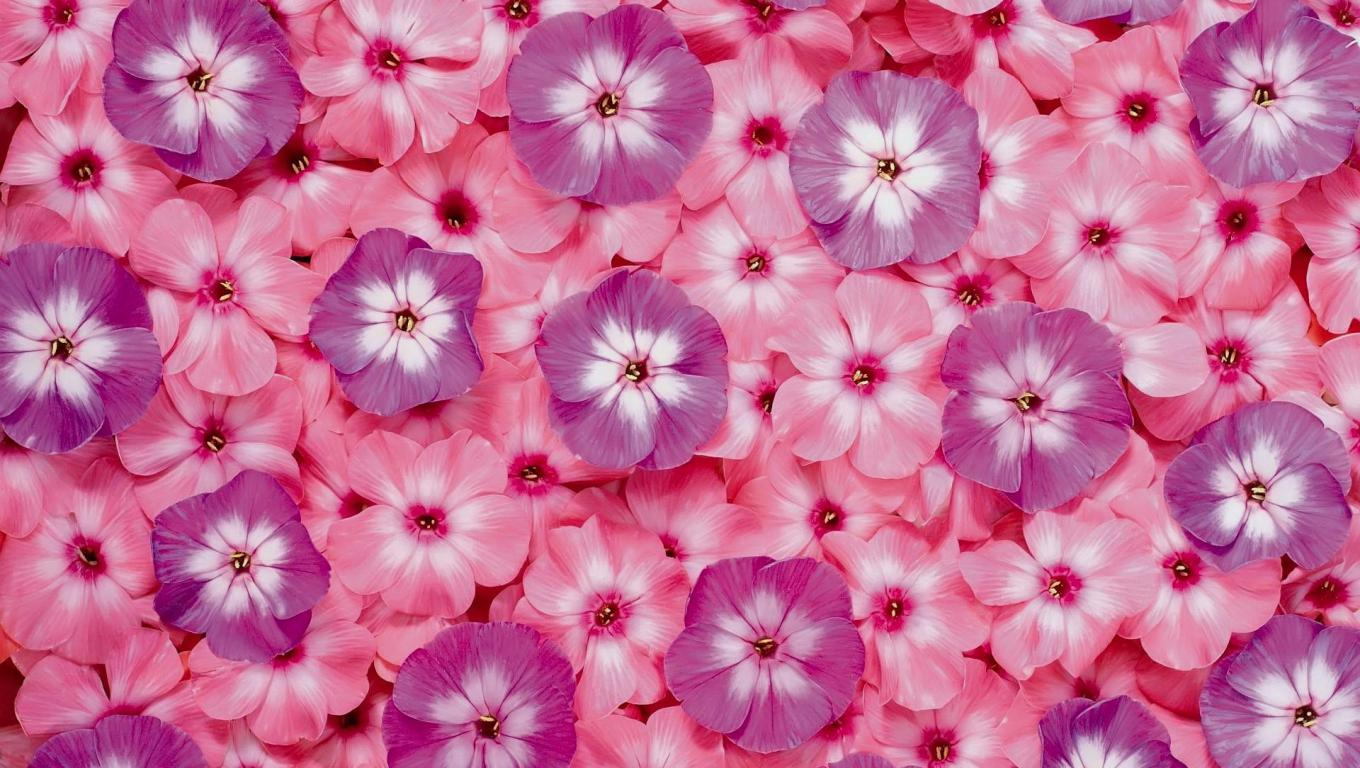 Flower Desktop Background Pictures with Pink and Purple Flowers HD 1360x768