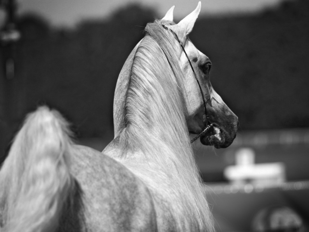 Black And White Horse Wallpaper   HD Wallpapers and Pictures 1024x768