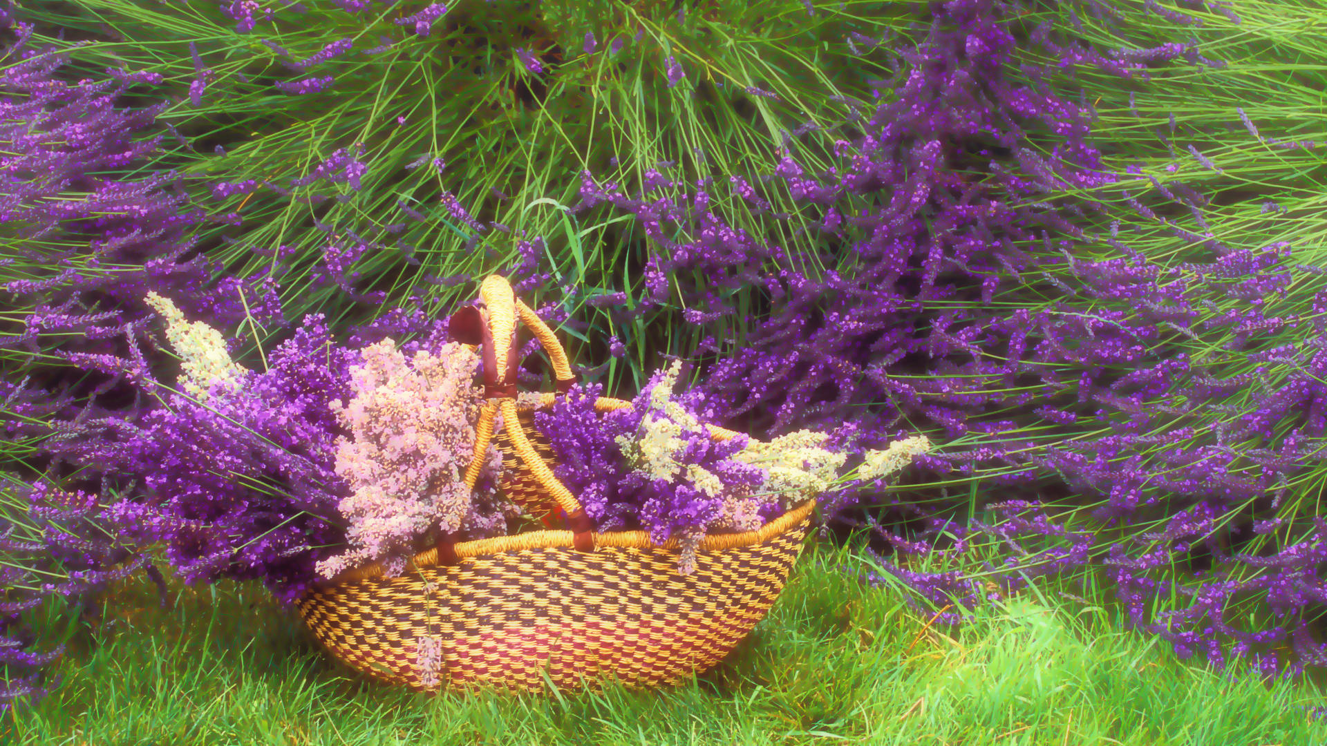 Lavender Purple Flowers On Farm Wallpaper Download 1920x1080
