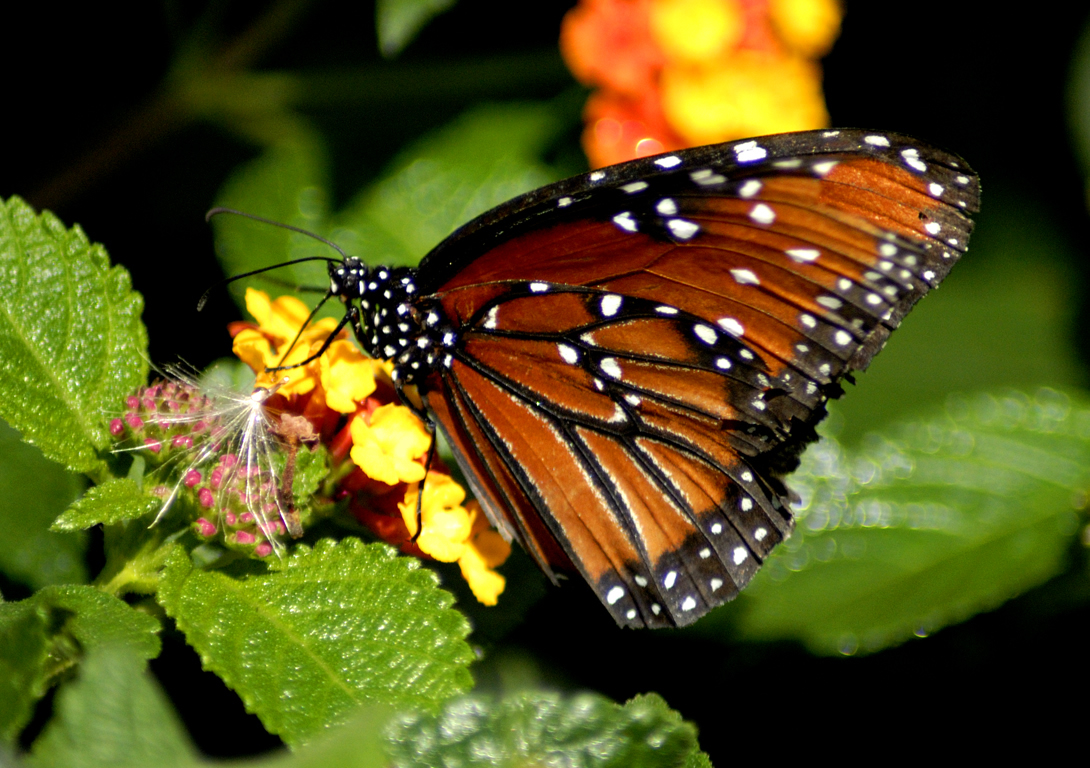 butterfly wallpaper hd pink butterfly wallpaper hd blue butterfly hd 1090x768