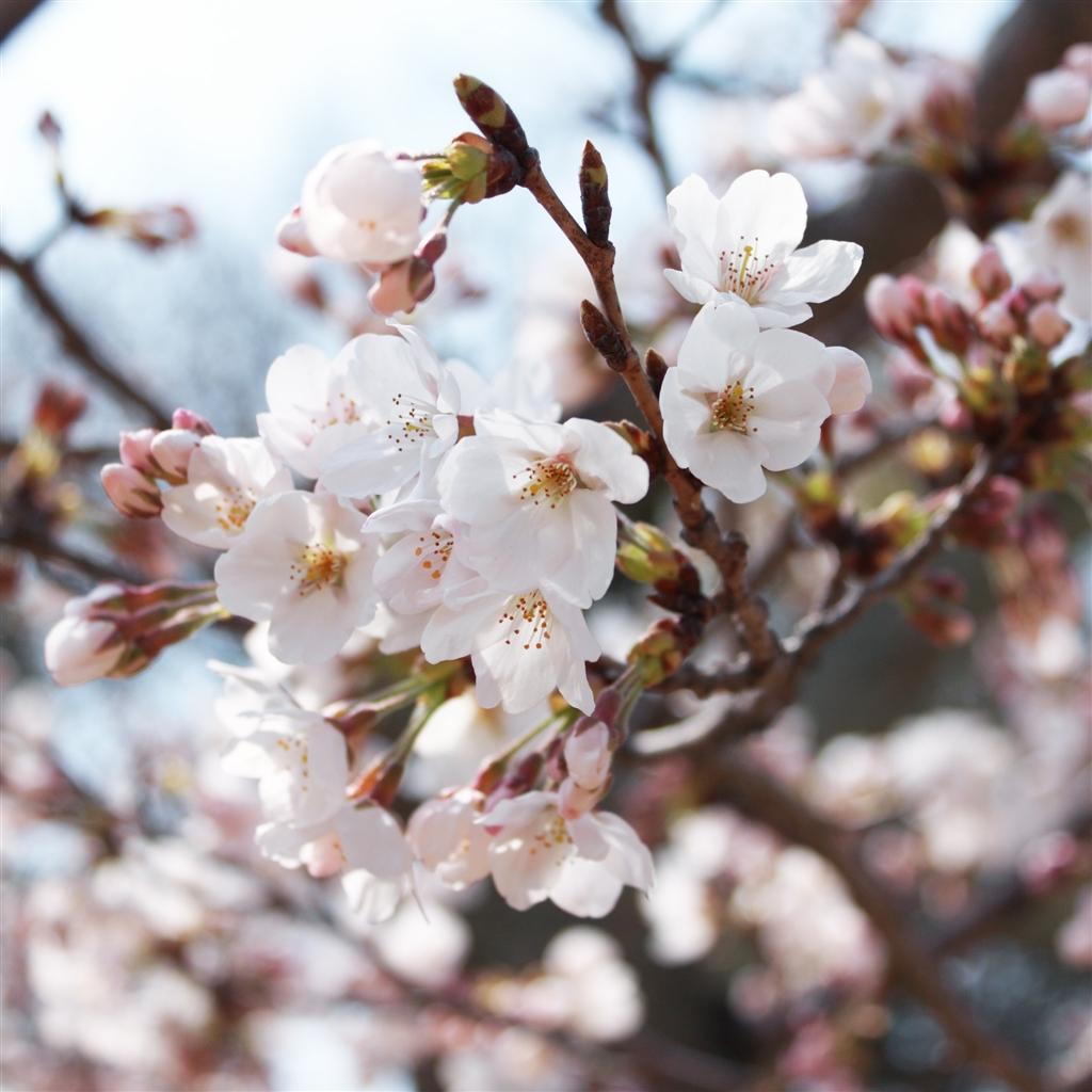 [46+] Cherry Blossom Wallpaper for iPhone on WallpaperSafari