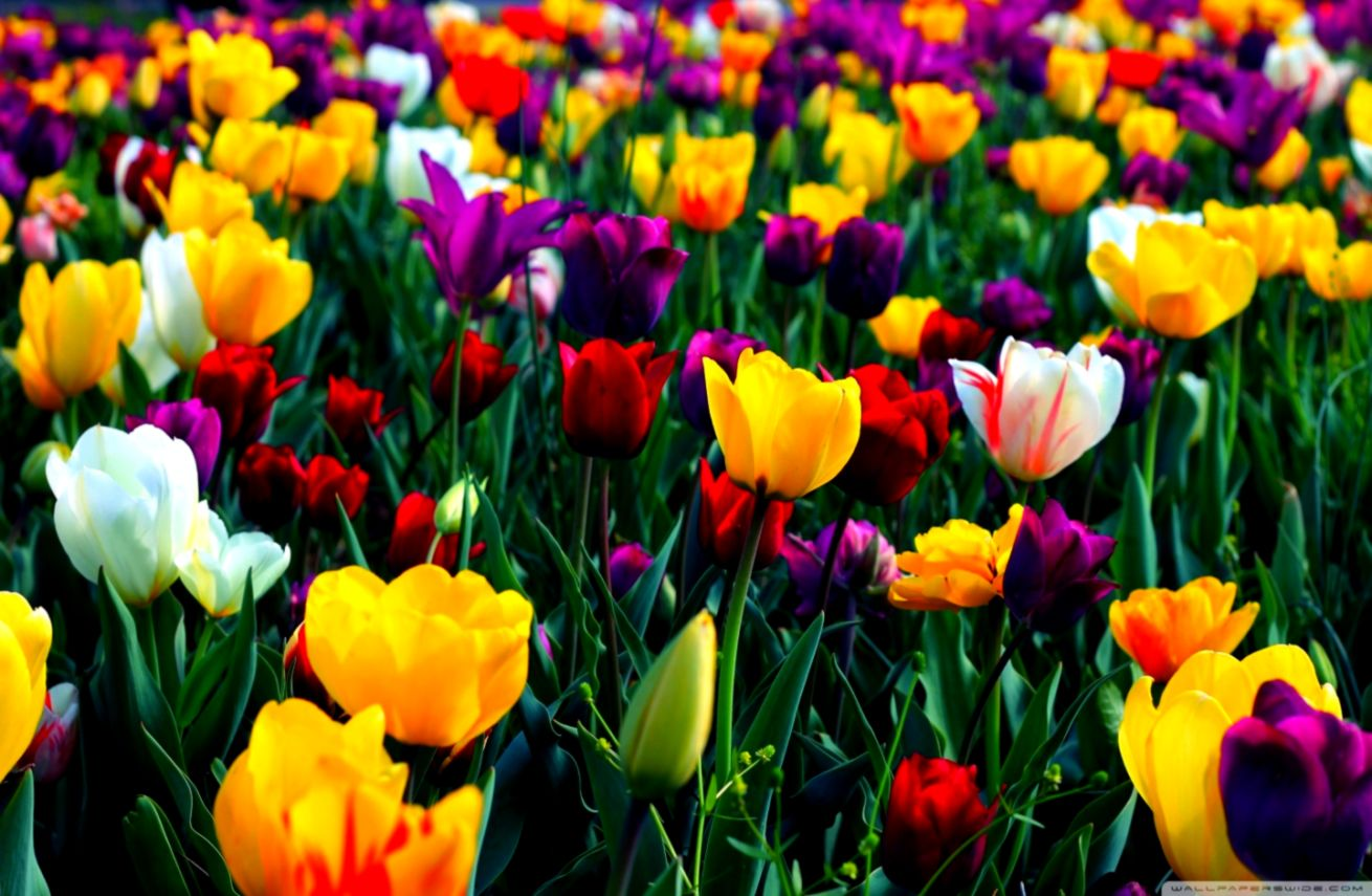 Spring Flowers Hd Wallpaper Download Wallpapers Comp 1310x855