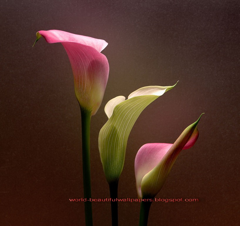 Beautiful Wallpapers calla lily flowers wallpaper 817x768