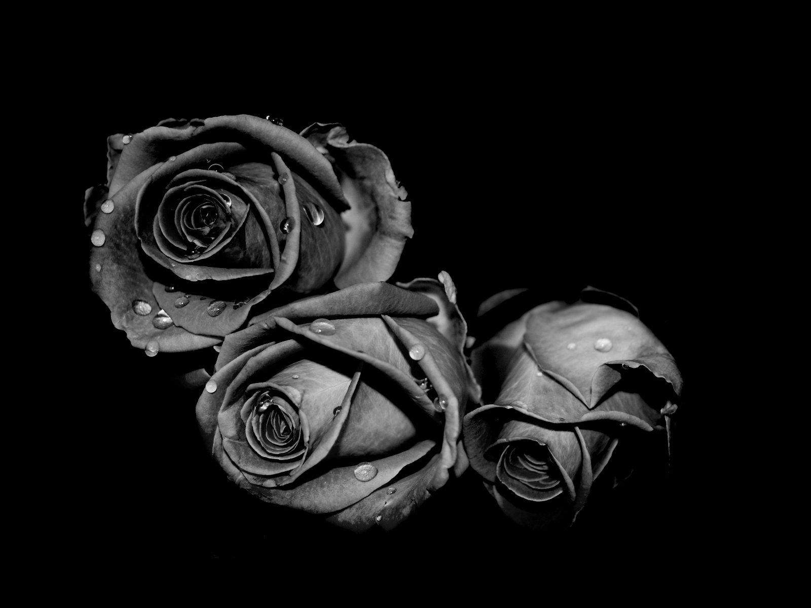 75 Black Rose Background On Wallpapersafari