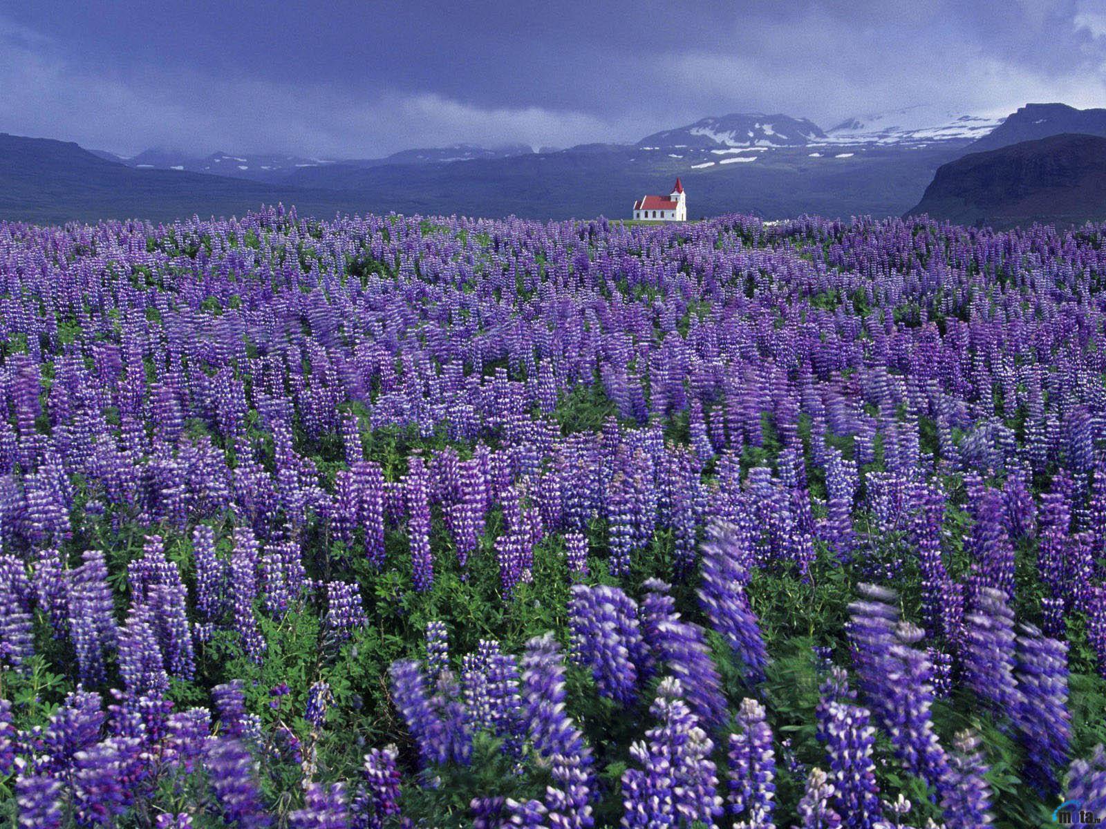 Download wallpaper Lavender Field 1600x1200