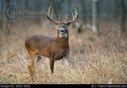 Whitetail Buck An alert whitetail buck stops 525x366