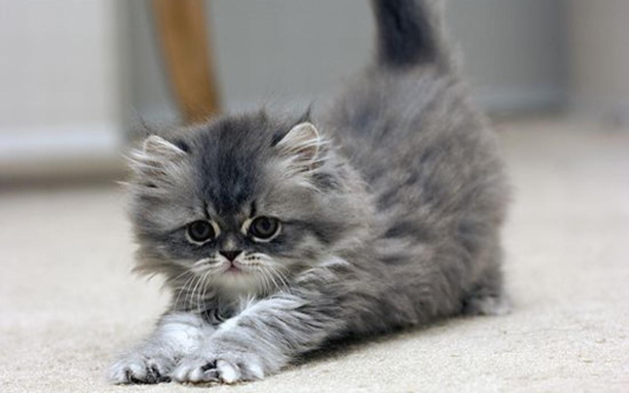 Cute Kitten   Kittens Wallpaper 16123151 1280x800
