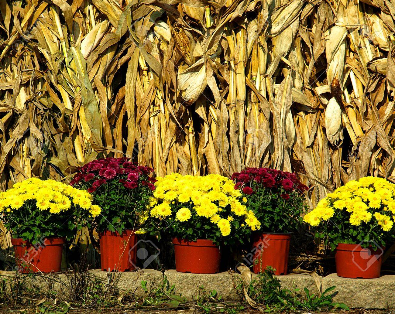 Stock Photo Image Of Bright Yellow Fall Mums In Pots With Corn 1300x1034