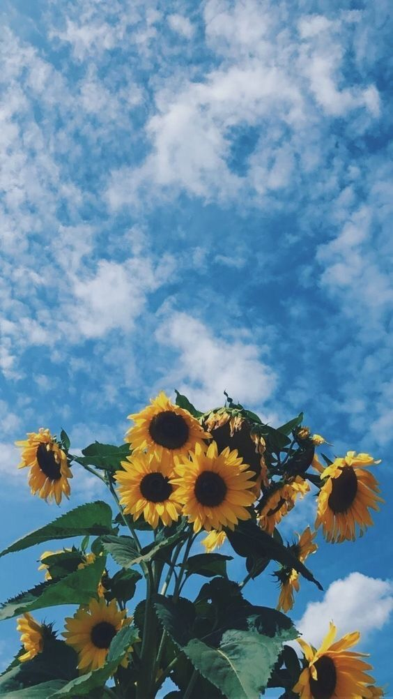 aesthetic sky flowers nature background clouds sunflower 564x1002