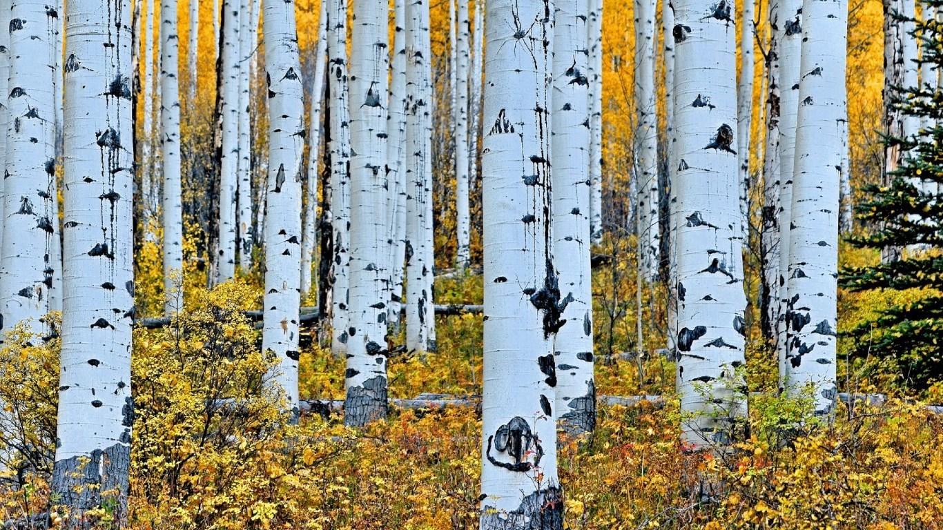 aspen trees wallpaper 1366x768