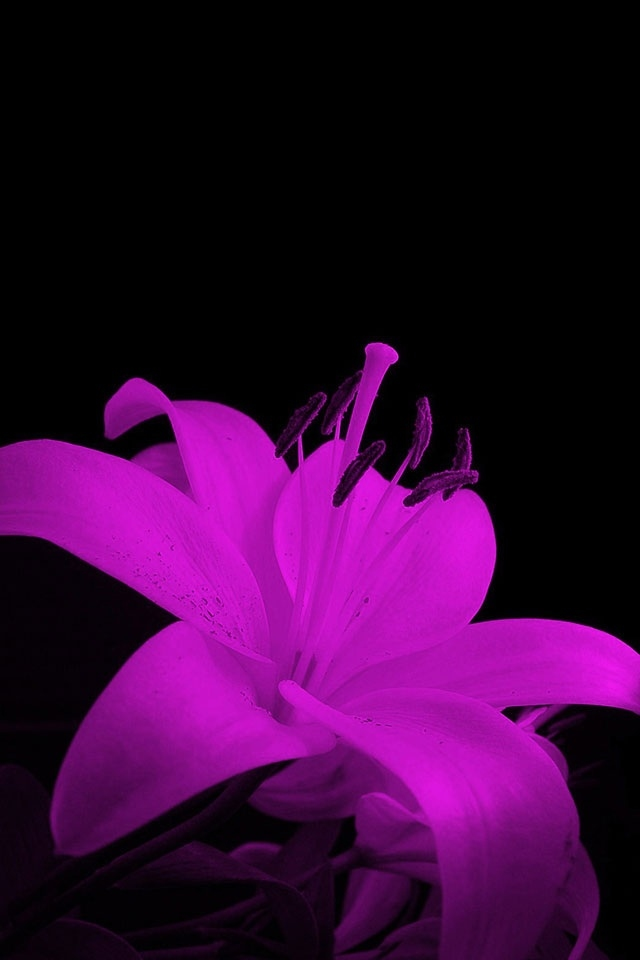 Purple Flower Iphone 4 Wallpapers 640x960 Hd Iphone 5 Wallpapers 640x960