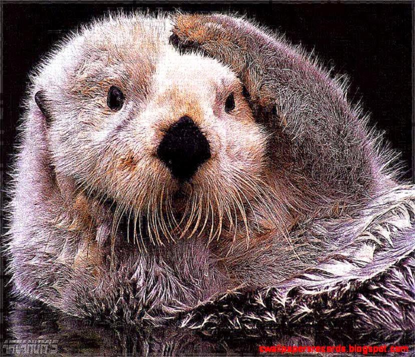 Sea Otters Wallpaper Sea Otter hd Wallpaper hd 829x714