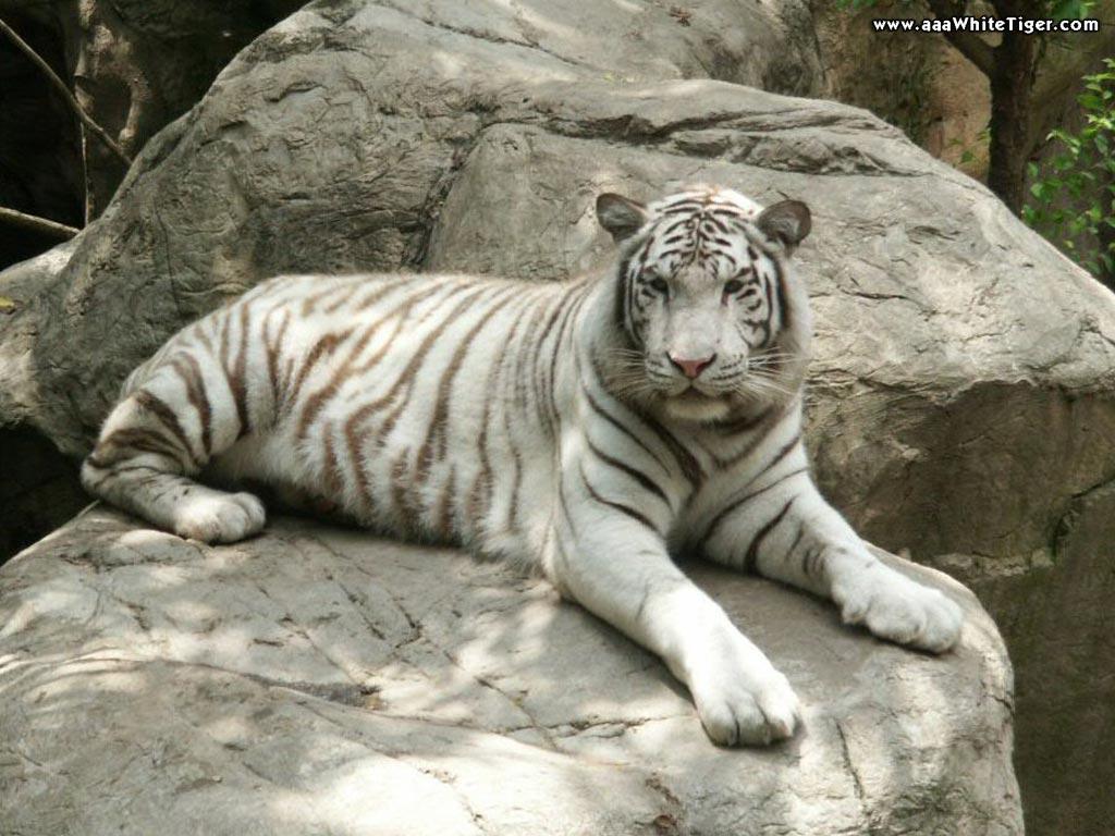TIGER WALLPAPERS White Tiger On Rocks Wallpaper 1024x768