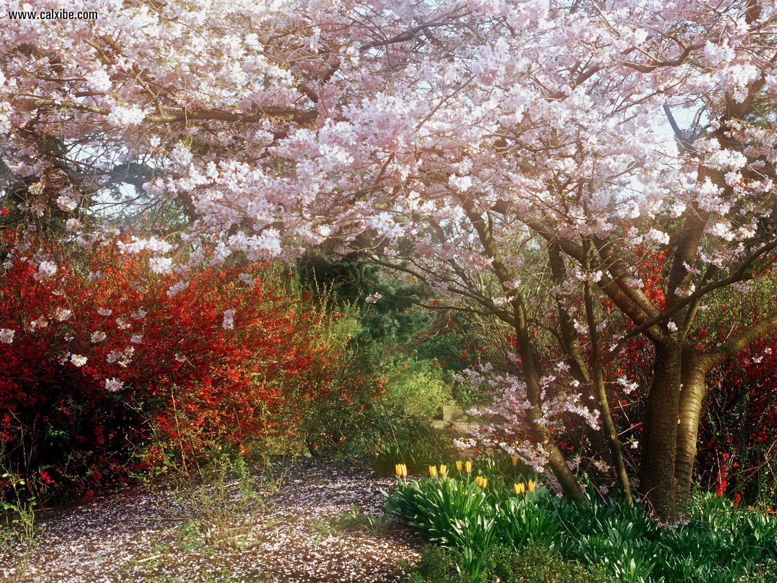 Nature Japanese Cherry Tree desktop wallpaper nr 16303 1600x1200