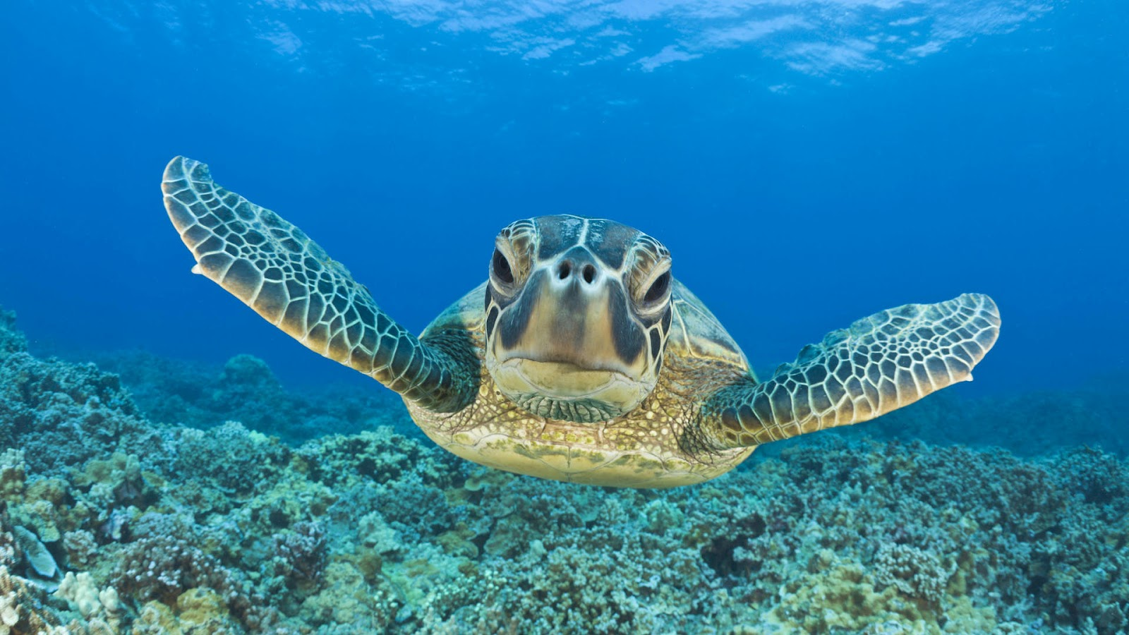 turtle swimming underwater hd animal wallpaper turtlesjpg 1600x900